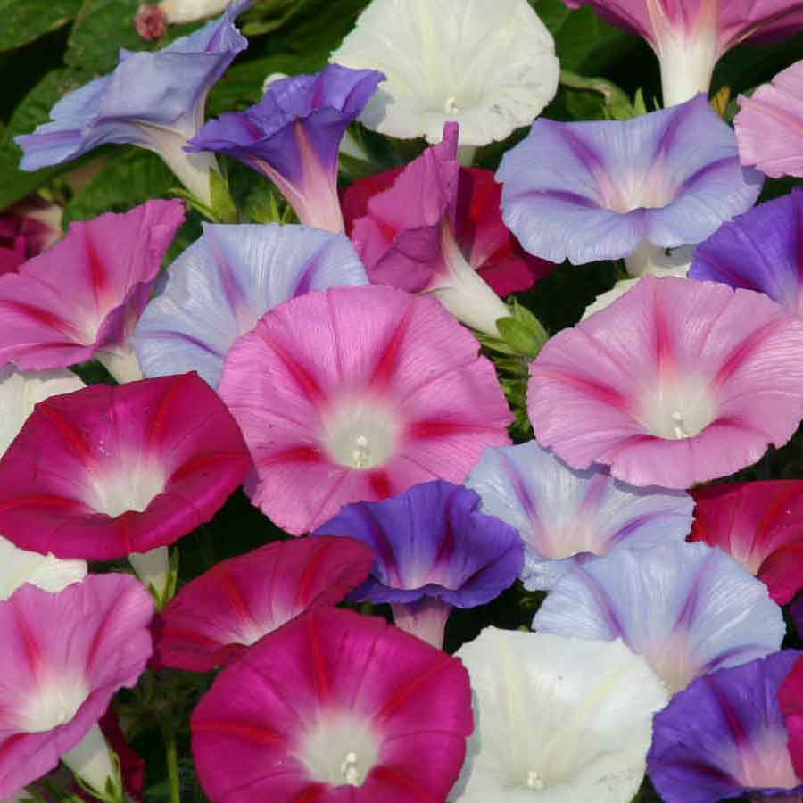 Image result for ipomoea lazy luxe